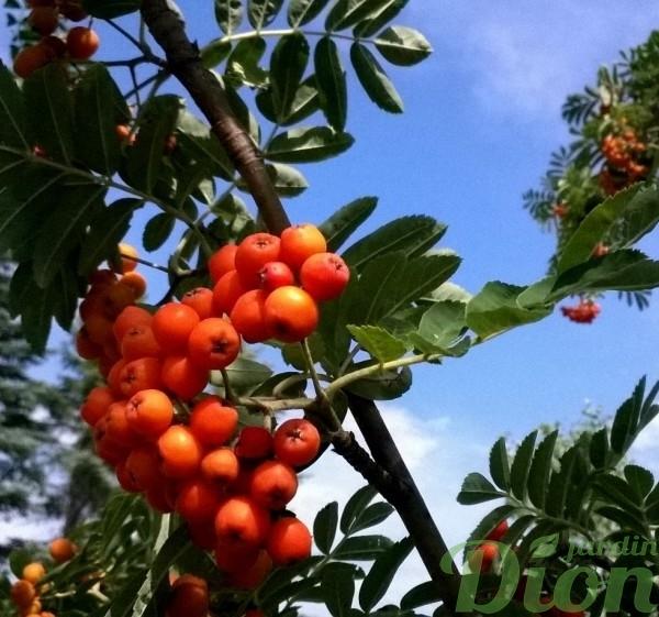 sorbus-aucuparia-rossica-sorbier des oiseaux-fruits et feuilles