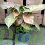syngonium-podophyllum-mango allusion-pattes d'oie-