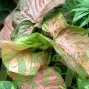 syngonium-podophyllum-mango allusion-pattes d'oie-feuillage