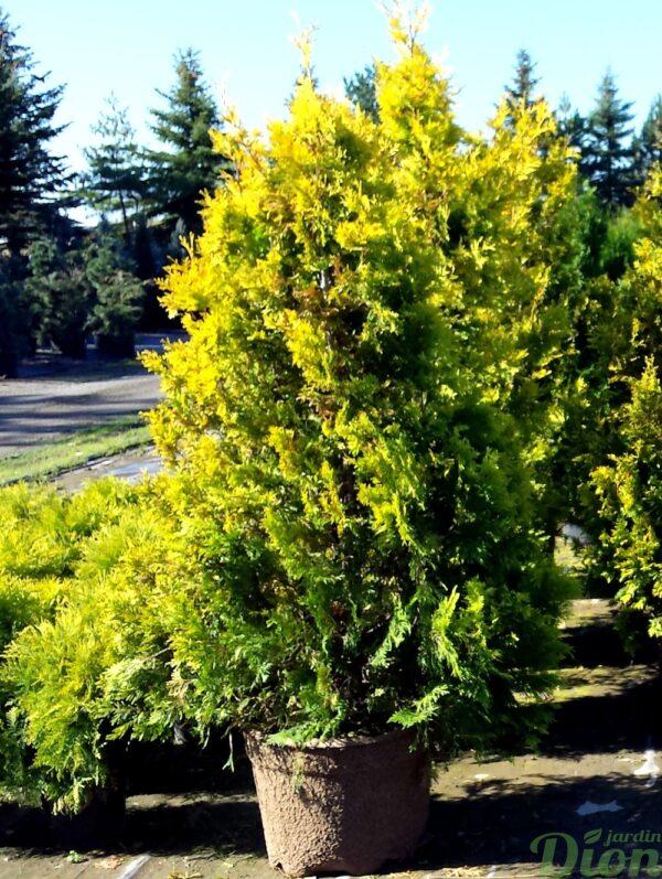 thuya-occidentalis-cedre-sunkist