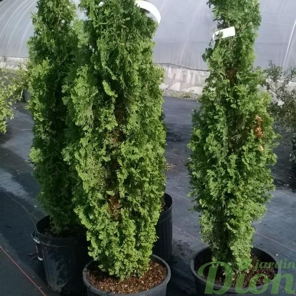 thuya-occidentalis-degroot spire-cèdre étoit