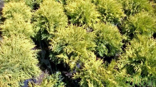 thuya-occidentalis-golden globe-cedre-en boule doré