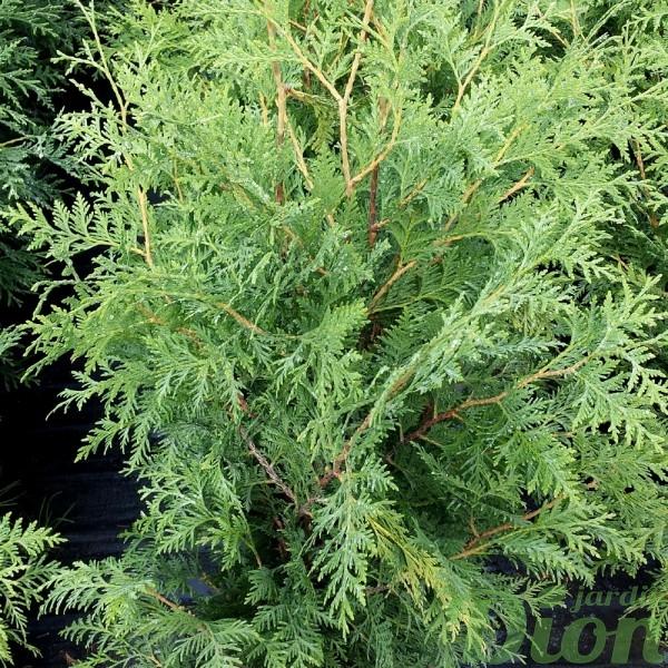 thuya-occidentalis-nigra-cèdre-noir