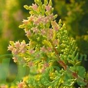 thuya-thuja-cedre-fleurs