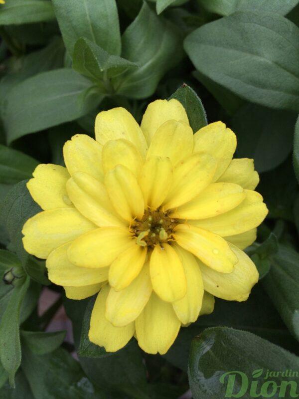 zinnia-profusion-double-jaune