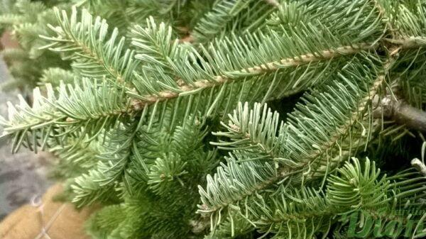 abies-balsamea-sapin-baumier-dessous de aiguilles