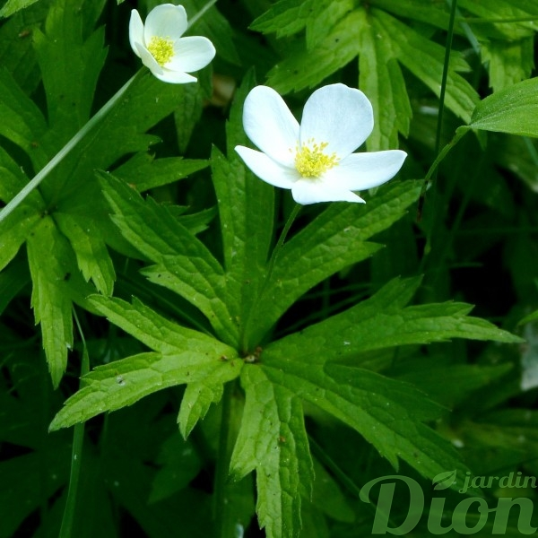 anemone-canadensis-anemone du canada-indigene-couvre sol