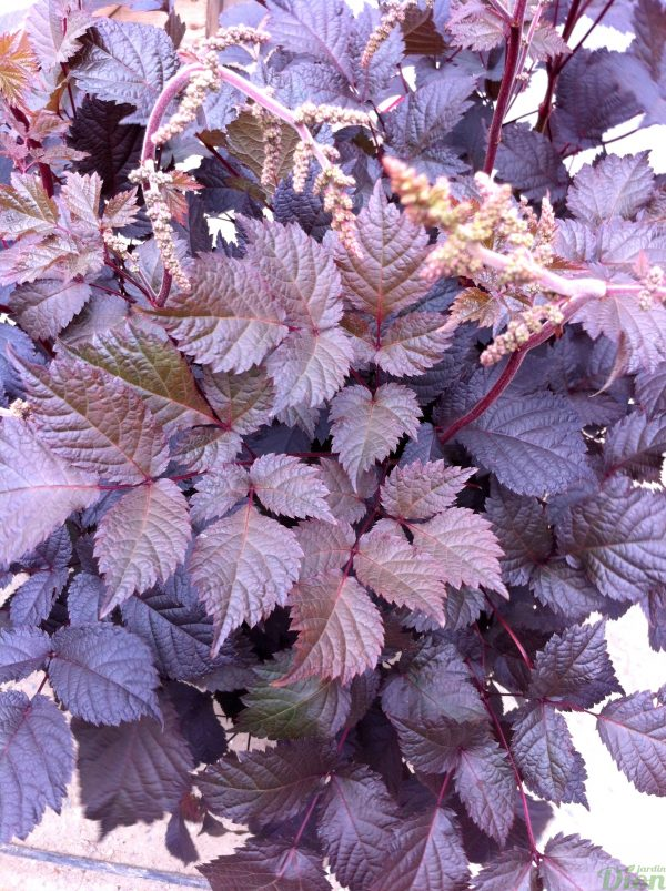 astilbe-chocolate-shogun