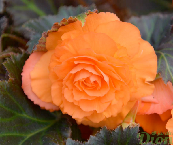 Begonia 'Mocca bright orange'