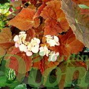Begonia rex 'Autumn ember'l