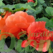 begonia turbereux-non stop-annuelle-ombre-secheresse-corail