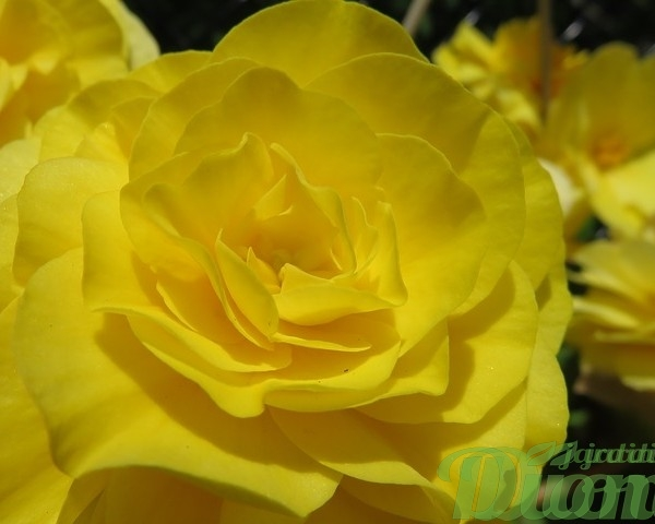 begonia turbereux-non stop-annuelle-ombre-secheresse-jaune