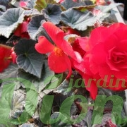 begonia turbereux-non stop-annuelle-ombre-secheresse-moka rouge