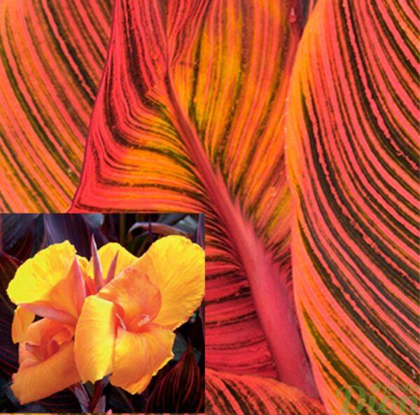 canna-african sunset-feuillage orange-fleurs jaune