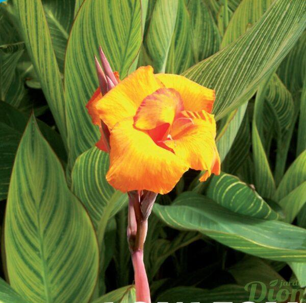 canna-bengal tiger-feuillage-raye-fleur jaune