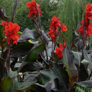 canna-black-knight-feuillage-fonce-fleurs-rouges