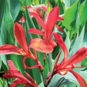 canna-glauca-endeavour-fleur-rouge