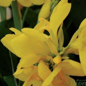 canna-hello-yellow-fleur jaune