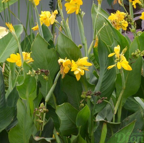 canna-lemon punch-fleur jaune