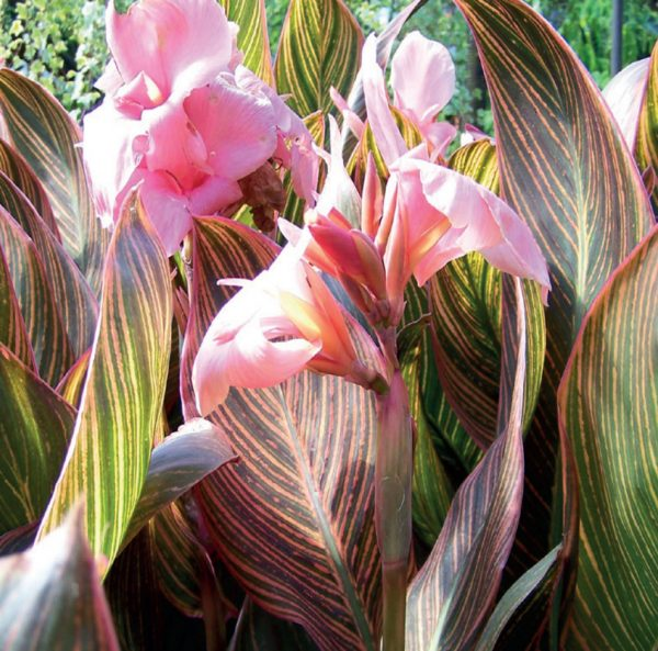 canna-pink-sunburst-fleur-rose