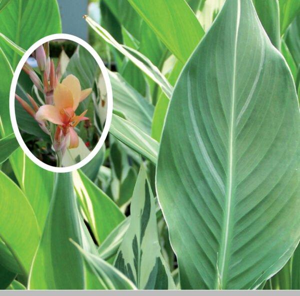 canna-stuttgart-variegata