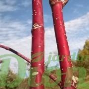 cornus-sericea-stolonifera-cornouiller-stolonifère-écorce