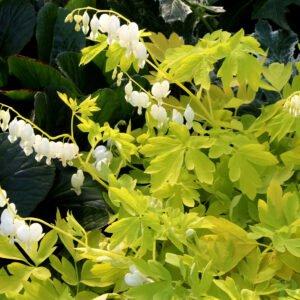 Dicentra spectabilis 'White gold'