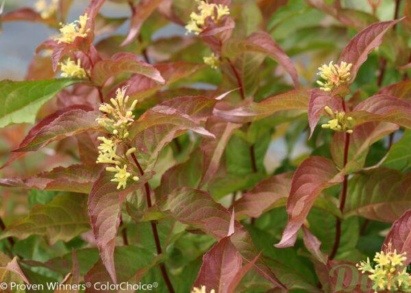 diervilla-lonicera-diervillée chevrefeuille-kodiak-orange-feuilles-fleurs PW2