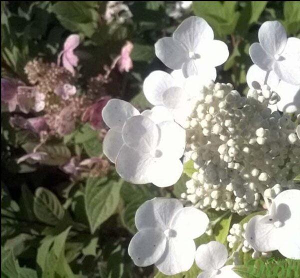 hydangea-paniculata-hydrangee-paniculee-little quick fire-floraison d'été