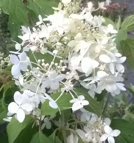 hydangea-paniculata-hydrangee-paniculee-pink diamond-floraison d'été