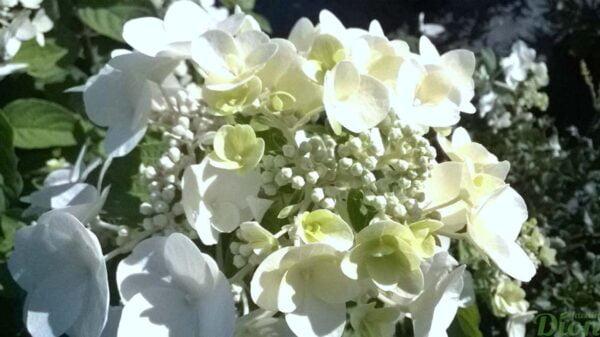 hydangea-paniculata-hydrangee-paniculee-quick fire-floraison d'été