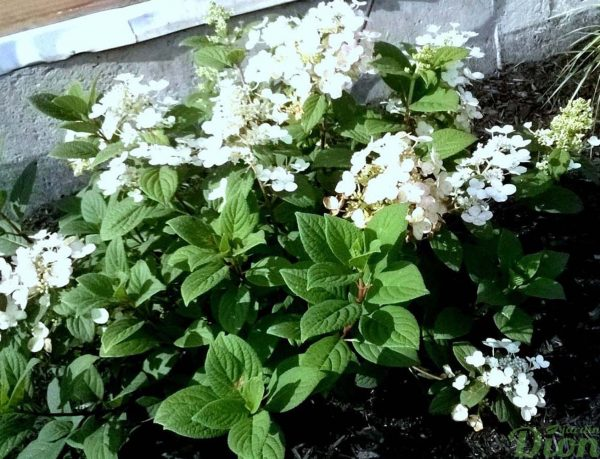 hydrangea-hydrangée-little quick fire-fleurs phase blanche