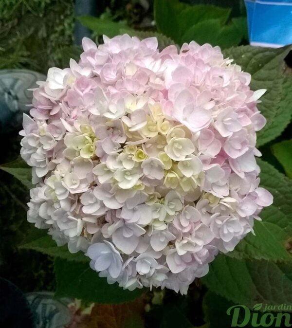 hydrangea-hydrangee-macrophylla-blushingbride-fleurs fin été