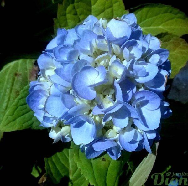 hydrangea-macrophylla-hydrangée-bloomstruck-bleu