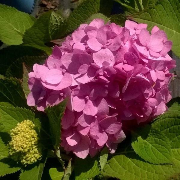 hydrangea-macrophylla-hydrangée-endless summer-rose en sol alcalin
