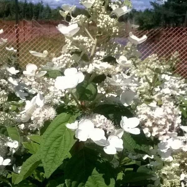 hydrangea-paniculata-hydrangée paniculée-kyushu (snowmountain)-floraison d'été