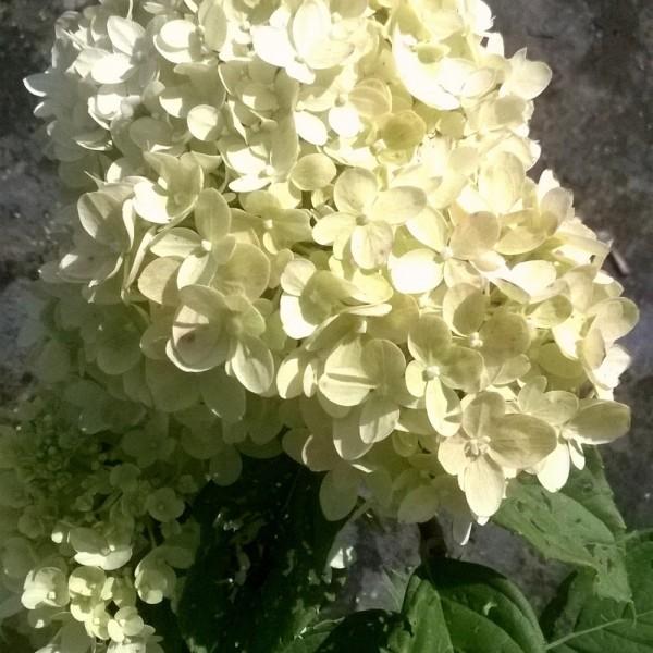 hydrangea-paniculata-hydrangee-limelight-fleur de fin ete
