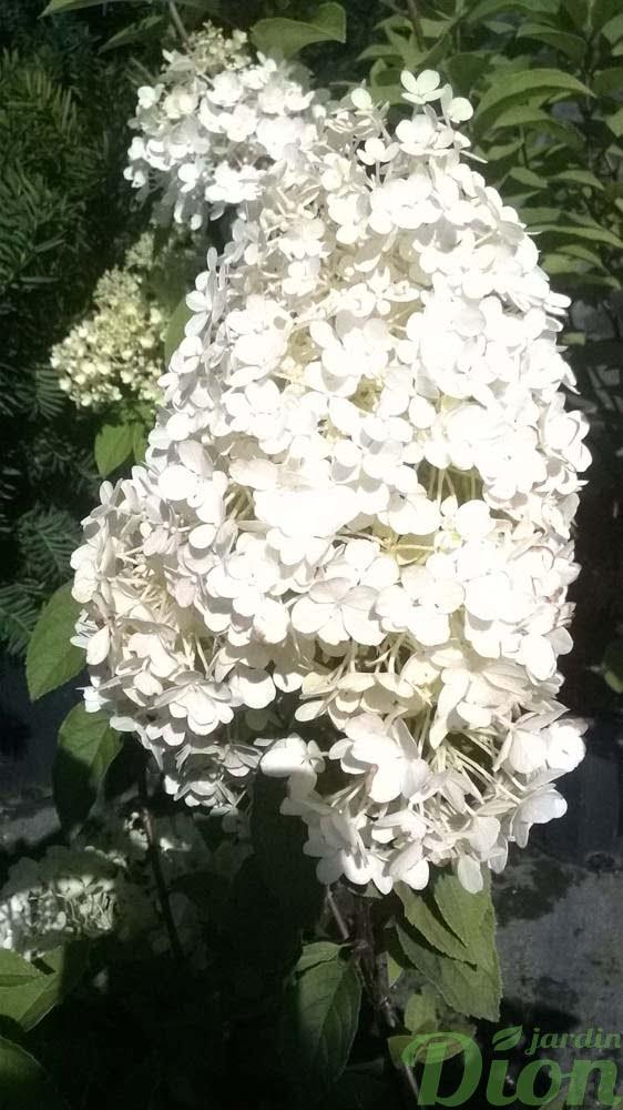 hydrangea-paniculata-hydrangee-paniculee-bobo