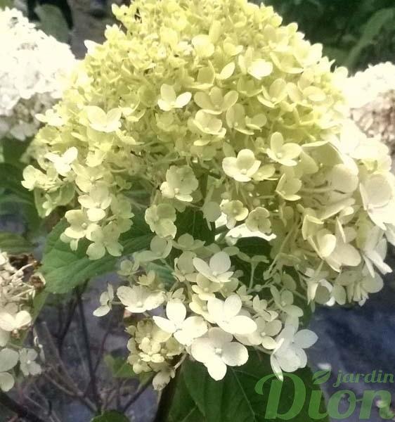 hydrangea-paniculata-hydrangee-paniculee-little lime-floraison d'été