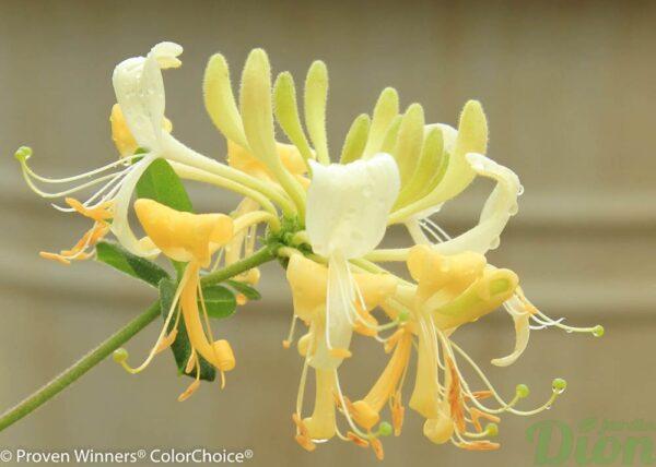 lonicera-periclymenum-scentsation-chevrefeuille-grimpant-crème et jaune-PW