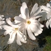 magnolia-stellata-royal star