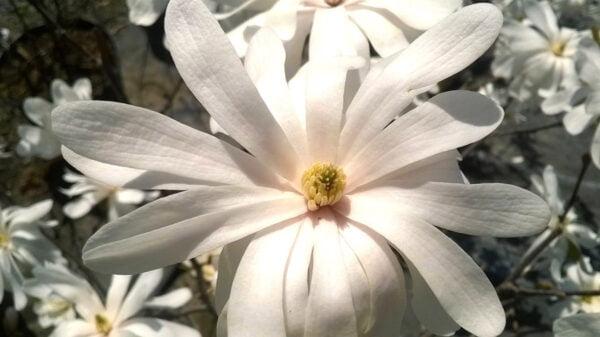 magnolia-stellata-royal star-fleur
