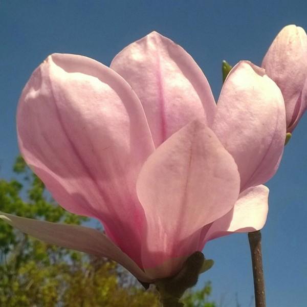 magnolia soulangiana-fleur
