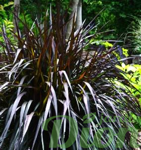 Pennisetum 'First knight'