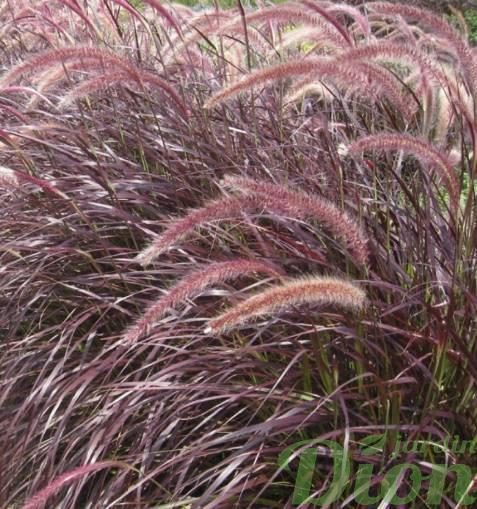 pennisetum rubrum jardin dion