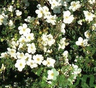 potentilla-fruticosa-potentille-abbotswood-white-blanche