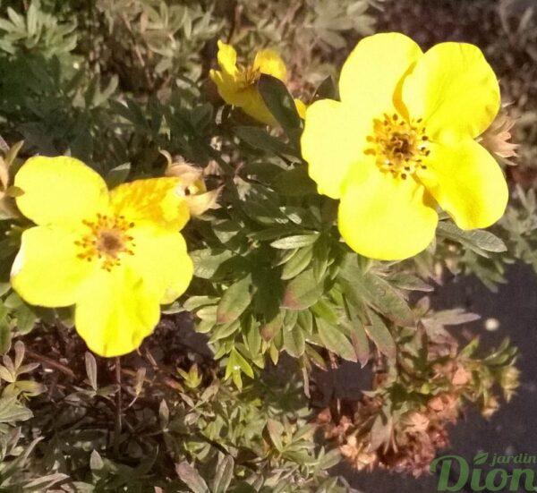 potentilla-fruticosa-potentille-goldfinger-fleur
