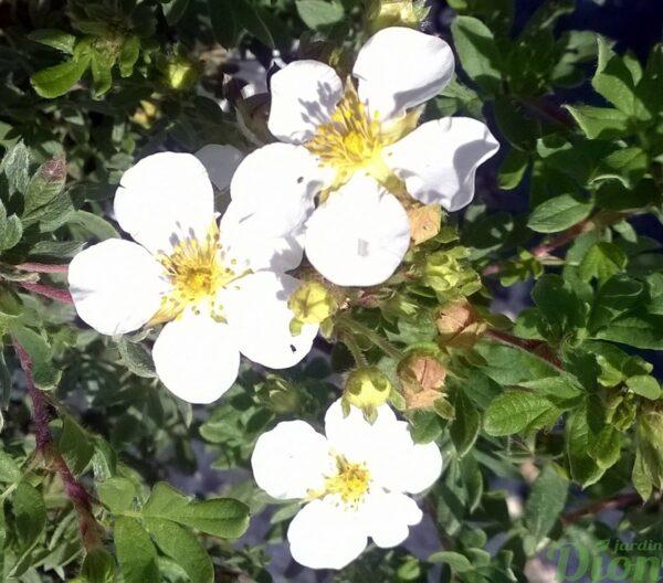 potentilla-fruticosa-potentille-happy face white
