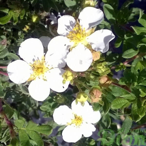 potentilla-fruticosa-potentille-happy face white