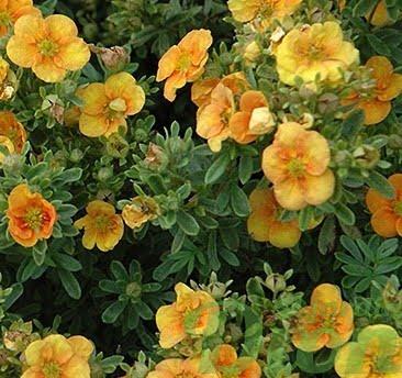 potentilla-fruticosa-potentille-mango tango-jaune et orange